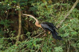 Anhinga africà / Anhinga Africana / African Darter (Anhinga rufa)
