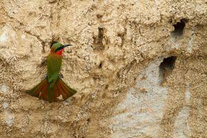 Abellerol gola-roig / Abejaruco Gorjirrojo / Red-throated Bee-eater (Merops bulocki)