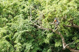 Alció gegant africà / Martín Gigante Africano / Giant Kingfisher (Megaceryle maxima)