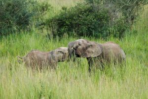 Elefant africà / Elefante africano de sabana / African Elephant (Loxodonta africana)