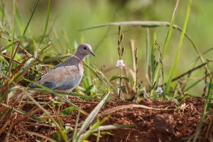 Tórtora del Senegal / Tórtola Senegalesa / Laughing Dove (Streptopelia senegalensis)