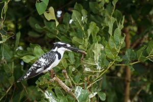 Alció garser / Martín Pescador Pío / Pied Kingfisher (Ceryle rudis)