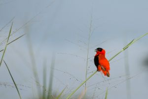 Bisbe vermell septentrional / Obispo anaranjado / Northern Red Bishop (Euplectes franciscanus)