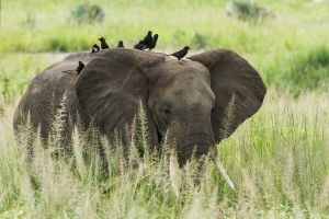 Elefant africà / Elefante africano de sabana / African Elephant (Loxodonta africana) // Piapiac / Piapiac / Piapiac (Ptilostomus afer)