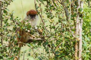 Mona vermella / Mono Patas / Patas Monkey (Erythrocebus patas)
