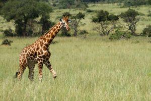 Girafa / Jirafa / Giraffe (Giraffa camelopardalis congoensis)