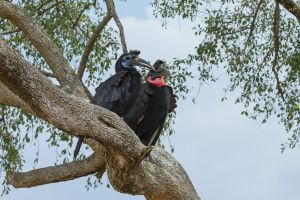 Calau terrestre septentrional / Cálao Terrestre Norteño / Abyssinian Ground-Hornbill (Bucorvus abyssinicus)