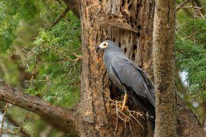 Arpella d'antifaç africana / Aguilucho carcalvo común / African Harrier-Hawk (Polyboroides typus)