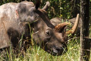 Rinoceront blanc / Rinoceronte blanco / White Rhinoceros (Ceratotherium simum)