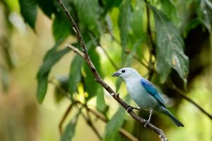 Blue-gray Tanager (Thaupis episcopus)