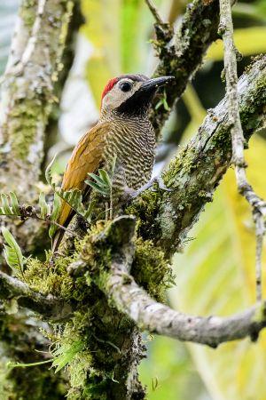 Golden-olive Woodpecker (Piculus rubiginosus)