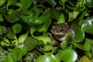 Gripau / Sapo / Toad (Rhinella sp.)