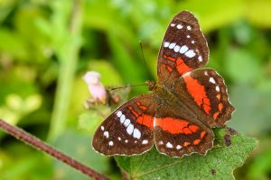 Brown peacock, scarlet peacock (Anartia amathea)