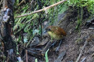 Yellow-breasted Antpitta (Grallaria flavotincta)