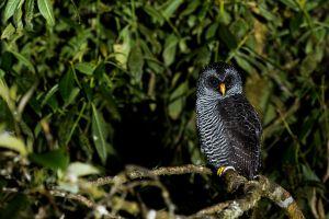 San Isidro Owl (Strix sp.)