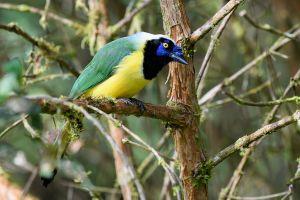 Inca Jay (Cyanocorax yncas)