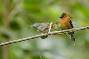 Cinnamon Flycatcher (Pyrrhomyas cinnamomea)