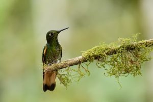 Buff-tailed Coronet (Boissonneana flavescens)