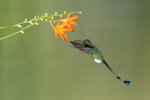 Booted Racket-tail (Ocreatus underwoodii)