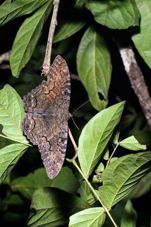 Papallona / Mariposa / Butterfly