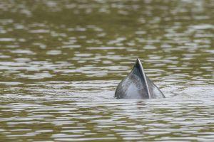 Dofí de l'Amazones / Delfín rosado / Amazon river dolphin (Inia geoffrensis)