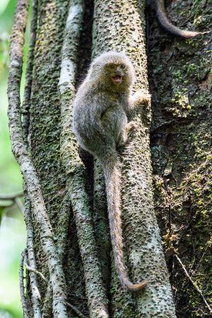 Pigmy Marmoset (Callithrix pygmaea)