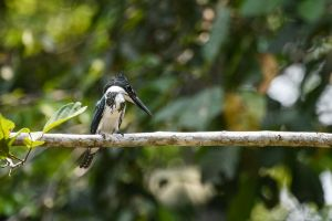 Amazon Kingfisher (Chloroceryle americana)