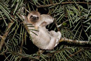 Peresós de coll pàl·lid (3 dits) / Perezoso de 3 dedos / Pale-throated three-toed sloth (Bradypus tridactylus)