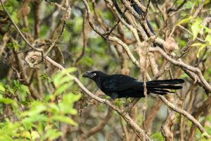 Greater Ani (Crotophaga major)