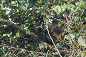 Peresós didàctil de Hoffmann / Perezoso didáctilo de Hoffmann / Hoffmann's two-toed sloth (Choloepus hoffmanni)