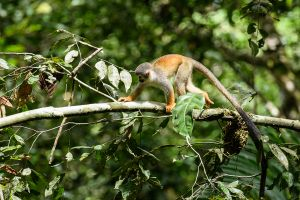 Squirrel Monkey (Saimiri sciureus)