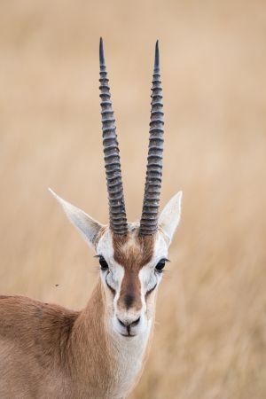 Thompson's Gazelle (Gazella rufifrons)