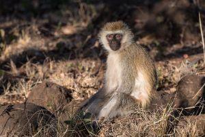 Vervet Monkey (Cercopithecus pygerythrus)