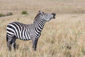 Common Zebra (Equus quagga)