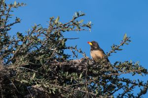 Yellow-billed Oxpecker (Buphagus erythrorhynchus)