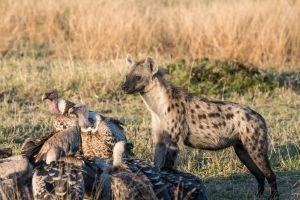 Spotted Hyaena (Crocuta crocuta) / Rüppell's Griffon Vulture (Gyps rueppellii)