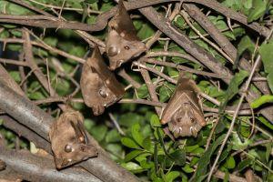 Peter's Dwarf Epaulette Fruit Bat (Micropteropus pusillus)