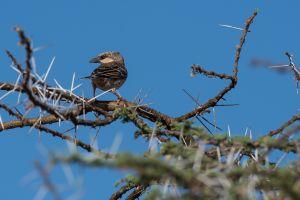 Donaldson-Smith's Sparrow-Weaver (Plocepasser donaldsoni)