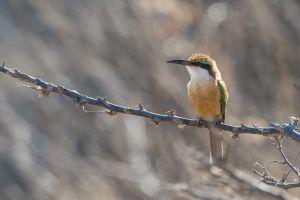 Somali Bee-eater (Merops revolilii)