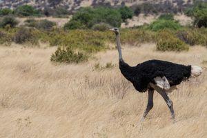 Somali Ostrich (Struthio molybdophanes)
