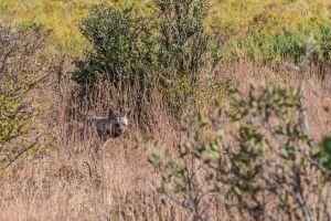 Stripped Hyaena (Hyaena hyaena)