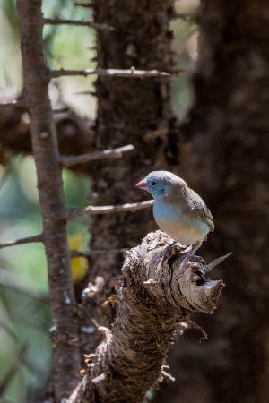 Blue-capped Cordon-bleu (Uraeginthus cyanocephalus)
