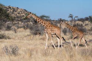 Reticulata Giraffe