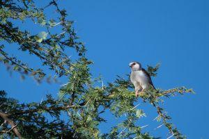 Pigmy Falcon (Polihierax semitorquatus)