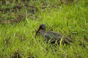 Ibis Hadadà / Ibis Hadada / Hadada ibis (Bostrychia hagedash)