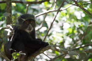 Cercopiteco blau / Cercopiteco de diadema / Blue Monkey (Cercopithecus mitis)