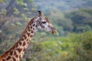 Girafa / Jirafa / Masai giraffe (Giraffa camelopardalis tippelskirchi)