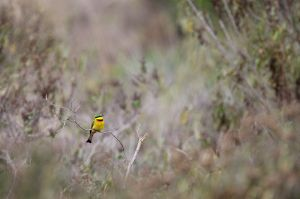 Abellerol petit / Abejaruco chico / Little Bee-eater (Merops pusillus)
