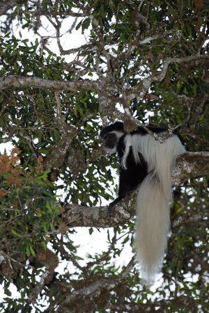 Còlob de crinera oriental / Guereza abisinio o colobo oriental negro y blanco / Guereza Colobus (Colobus guereza)