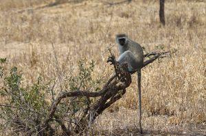 Verbet Monkey (Cercopithecus pygerythrus)